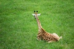 Una giraffa del bambino che si siede sull'erba verde fotografia stock libera da diritti