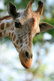 Una giraffa graziosa Immagine Stock Libera da Diritti