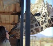 Una giraffa prende il sedano dalla bocca di una ragazza Immagine Stock
