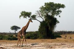 Una giraffa sola Fotografie Stock