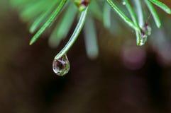 Una goccia di acqua sull'ago del pino Immagini Stock Libere da Diritti