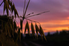 Una goccia di rugiada sull'avena all'alba Immagine Stock