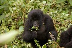 Una gorilla del bambino in Ruanda Fotografia Stock