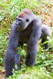 Una gorilla del silverback Immagine Stock