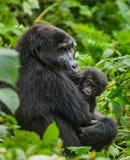 Una gorilla di montagna femminile con un bambino l'uganda Bwindi Forest National Park impenetrabile Immagini Stock Libere da Diritti