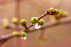 Una gotita del agua después de una lluvia de primavera en los brotes que florecen el árbol Imagen de archivo libre de regalías
