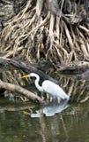 Una gran garceta blanca en el pantano la Florida de Crokscrew Fotografía de archivo