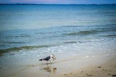 Una gran gaviota de espalda negra que da un paseo alrededor en fuerte Myers, la Florida fotos de archivo