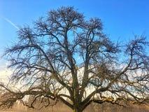 Una grande cima dell'albero con le montagne nei precedenti Fotografia Stock Libera da Diritti