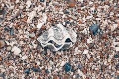 Una grande conchiglia su Pebble Beach Fotografie Stock Libere da Diritti