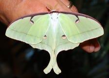 Una grande farfalla gigante del lepidottero di seta, lepidottero di Luna Fotografia Stock Libera da Diritti