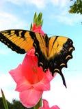 Una grande farfalla gode di un fiore rosa fragrante di gladiolo Fotografia Stock