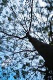 Una grande filiale di albero Fotografie Stock Libere da Diritti