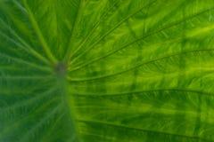 Una grande foglia tropicale verde - Immagini Stock