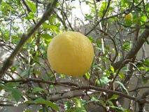 Una grande frutta gialla del limone sull'albero al giardino Immagini Stock