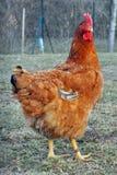 Una grande gallina Fotografie Stock Libere da Diritti
