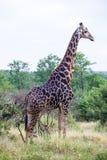 Una grande giraffa che sta nel cespuglio Immagine Stock
