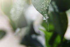Una grande goccia degli scorrimenti dell'acqua gi? dalla macro foglia verde fresca Priorit? bassa della natura Estate, concetti d fotografia stock libera da diritti
