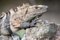 Una grande iguana da Costa Rica Immagini Stock Libere da Diritti