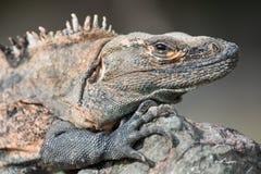 Una grande iguana da Costa Rica Fotografia Stock Libera da Diritti