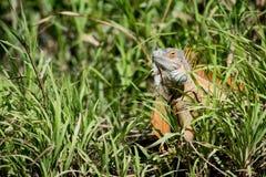 Una grande iguana da Costa Rica Immagine Stock Libera da Diritti