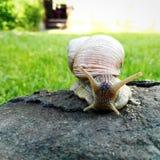 una grande lumaca su una roccia Fotografia Stock