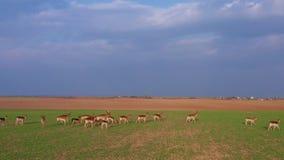 Una grande moltitudine di cervi, maschi e femmine, filmati da parla monotonamente un'azienda agricola d del campo archivi video
