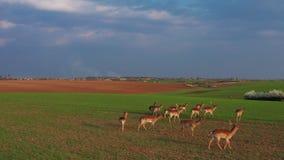 Una grande moltitudine di cervi, maschi e femmine, filmati da parla monotonamente un'azienda agricola d del campo video d archivio