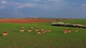 Una grande moltitudine di cervi, maschi e femmine, filmati da parla monotonamente un'azienda agricola del campo stock footage