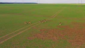 Una grande moltitudine di cervi, maschi e femmine, filmati da parla monotonamente un'azienda agricola del campo archivi video
