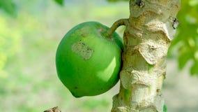 Una grande papaia che hunging su un albero nell'agricoltura indiana Immagini Stock Libere da Diritti