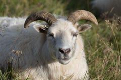 Una grande pecora bianca della ram con i corni lunghi che vi esaminano si chiude su immagine stock