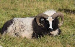 Una grande pecora bianca e nera della ram con i corni lunghi che vi esaminano vicino su l'islanda immagine stock