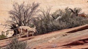 Una grande pecora cornuta delle pecore del deserto ed i suoi due agnelli si alimentano da un cespuglio che cresce su un pendio de stock footage