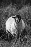 Una grande pecora lanosa Fotografie Stock Libere da Diritti