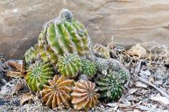 Una grande pianta succulente con i piccoli succulenti del bambino Immagini Stock Libere da Diritti