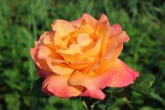Una grande rosa è giallo-rosa a colori Un grande è aumentato sui precedenti dei verdi dell'estate Immagini Stock