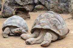 Una grande tartaruga allo zoo nel parco di Loro, Puerto de la Cruz fotografie stock libere da diritti