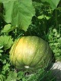 Una grande zucca verde è sulla terra fra le foglie e l'erba fotografia stock