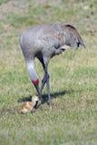 Una gru adulta del sandhill con il suo giovane pulcino Immagine Stock Libera da Diritti