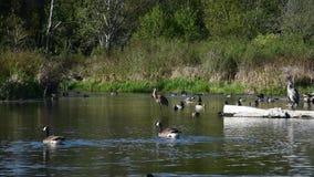 Una gru di Sandhill sta governando nel lago video d archivio