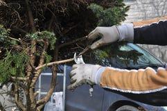 Una guarnizione dell'uomo ed i rami morti di taglio da un albero durante il giardino della molla funzionano fotografie stock