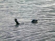 Una guarnizione etichettata in oceano, suo e coda visibile Fotografia Stock