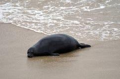 Una guarnizione nera è trovarsi sola sulla sabbia della spiaggia della California in U.S.A. fotografia stock