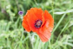 Una guerra mundial roja del día de la conmemoración del anzac de las amapolas Imagenes de archivo