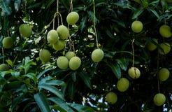 Una hermosa vista de mangos crudos en árbol imagen de archivo libre de regalías