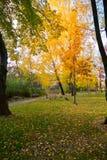 Una hermosa vista en un parque con los abedules vestidos en vestidos de oro del otoño y hojas caidas en hierba verde inmóvil Imagen de archivo libre de regalías