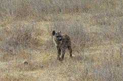 Una hiena en África Imágenes de archivo libres de regalías