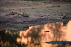 Una hiena manchada cubrió sobre un montón al lado de una piscina que brillaba intensamente Foto de archivo libre de regalías