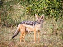 Una hiena que se coloca en el arbusto Imagenes de archivo